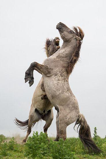 Paarden | Stijgerende konikpaarden - Oostvaardersplassen 2 van Servan Ott