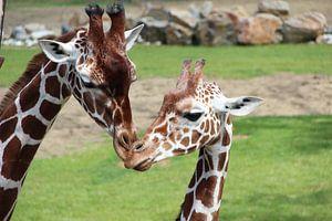 Giraffes  van Selma Hamzic