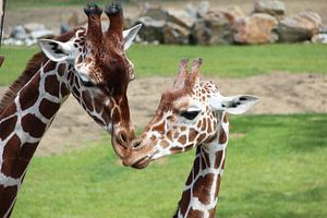 Giraffes  van