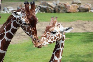 Giraffeen von Selma Hamzic