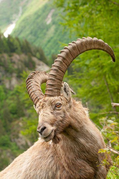 Steenbok in de Franse Alpen van John Faber