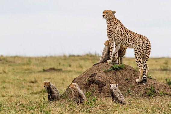 Cheetah (Acinonyx jubatus) moeder met vijf welpen, Masai Mara Nationaal Park, Kenia