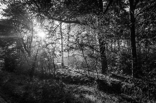 Zonnestralen prikken door de bomen (zwart wit)