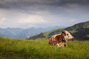 Koe in Oostenrijkse Alpen