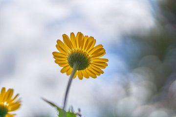 Gelbes Gänseblümchen mit Bokeh-Hintergrund von Ad Jekel
