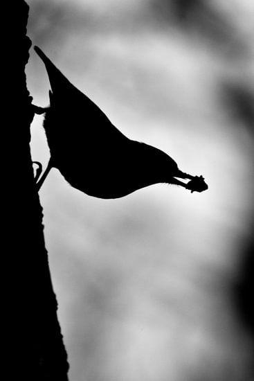 boomklever, silhouet van mono chromie