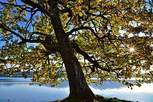 old tree on the shore van