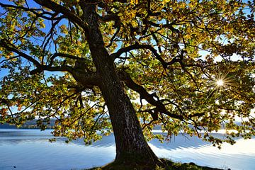 old tree on the shore van Peter Bergmann