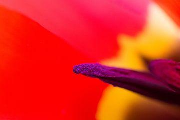 Tulp Apeldoorn van Peter Sneijders