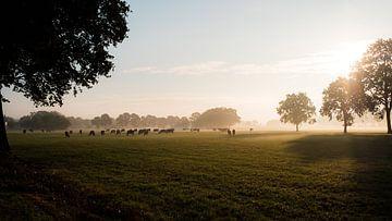 Kühe auf der Wiese im frühen Morgenlicht von FHoo