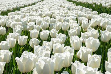 Tulipfield avec des tulipes blanches. sur Albert Beukhof