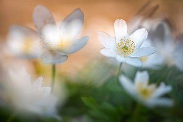 Wood anemone in sunshine van Nicc Koch