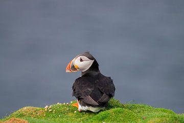Papegaaiduiker van Merijn Loch