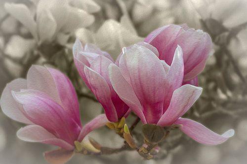 Magnolienblüten von