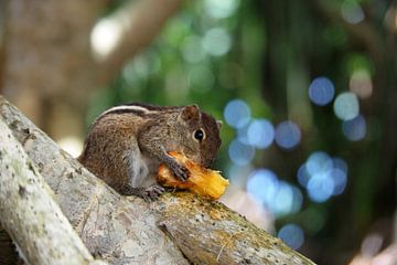 Sri Lankaanse eekhoorn van Astrid Brouwers
