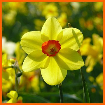Narcis, geel en oranje (narcis) van RaSch-BS_Design