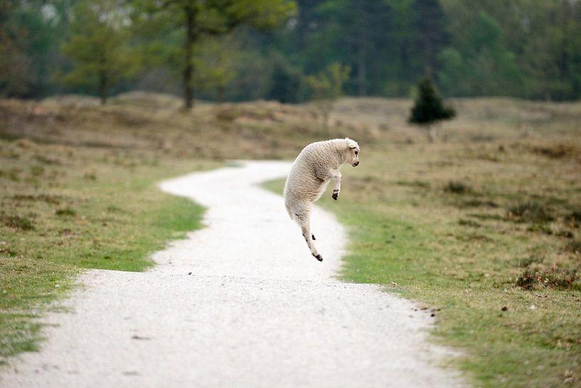 Springend lammetje van Merijn van der Vliet