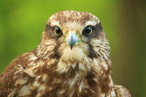 Falcon von