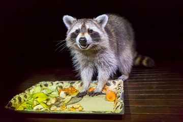 Dieser Waschbär frisst Obst und Gemüse in der Nacht von Ben Schonewille