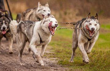 Siberian Huskies van Hamperium Photography
