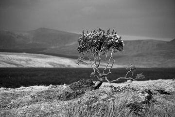 Einsamer Ginster von Bo Scheeringa Photography