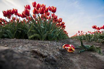 Die gefallene Tulpe von Wilco Bos