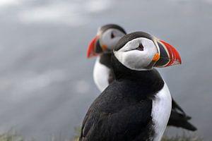 Twee papegaaduikers, noordwest IJsland