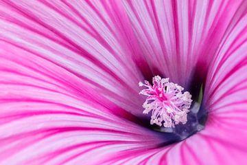 Lavatera | rosa von Marianne Twijnstra-Gerrits