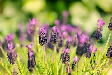 Lavendel von Martijn Kort