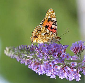 Vlinder op vlinderstruik van Marco Weening