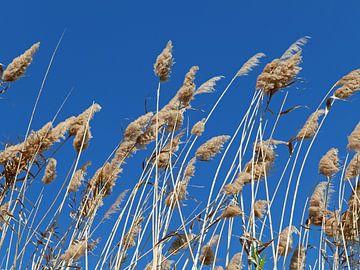 Wuivend riet met pluimen tegen een strakblauwe hemel van Gert Bunt
