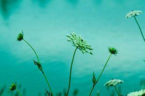 Witte bloemen aan het water van Nora Verhoef