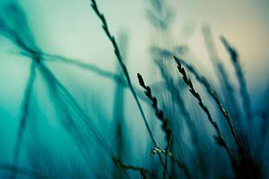 Gras tegen de ondergaande zon van