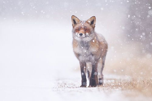 Fuchs im Schneesturm von Pim Leijen