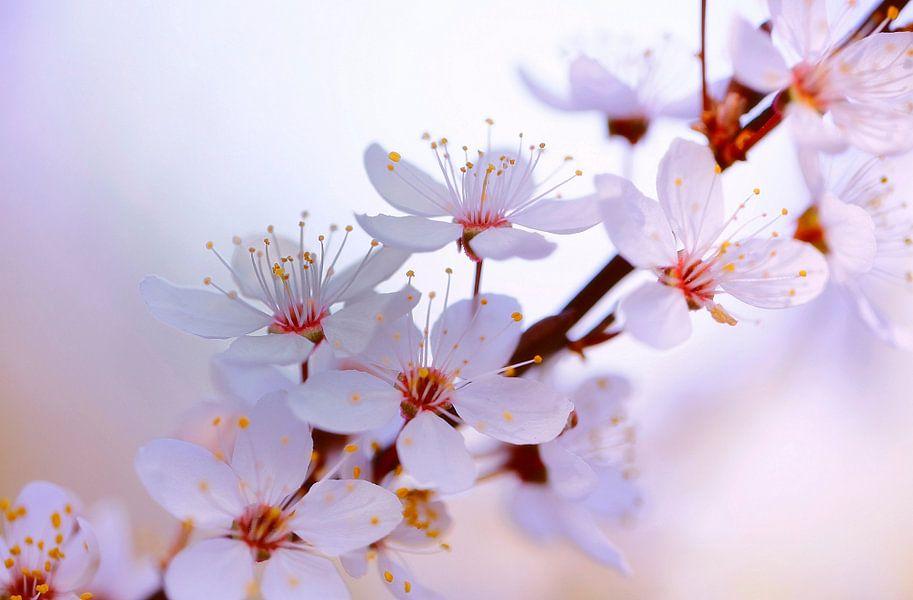 Japanische Kirschblüte van Renate Knapp