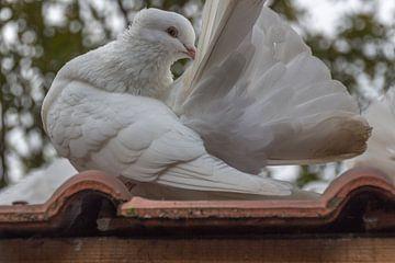 Posierende Taube von didier de borle