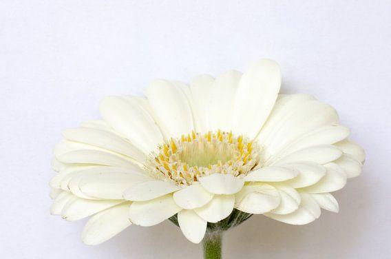 White lady, Gerbera macrofotografie
