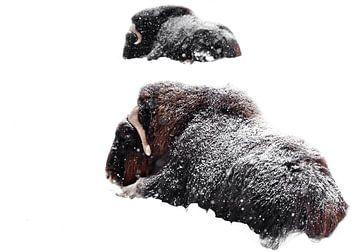 Deux boeufs musqués sont couchés dans la neige pendant l'hiver rigoureux. Isolé sur fond blanc. De p sur Michael Semenov