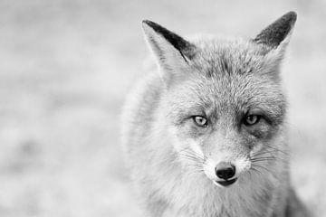 De vos (zwart-wit) van Eus Driessen