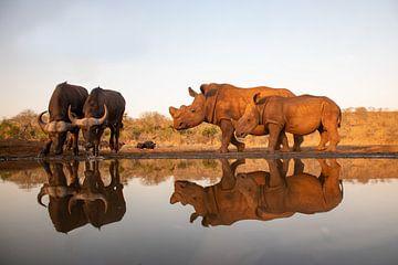 Une mère et son bébé rhinocéros rencontrent deux buffles kaffir dans un point d'eau sur Peter van Dam