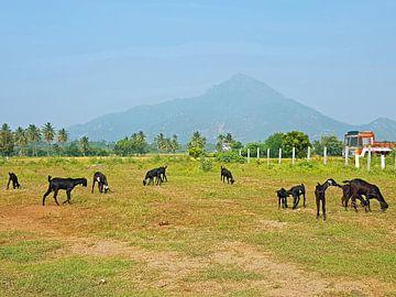 Der heilige Berg Arunachala in Tamil Nadu in Indien von Nisangha Masselink