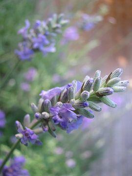 Lavendel van Le Mistral