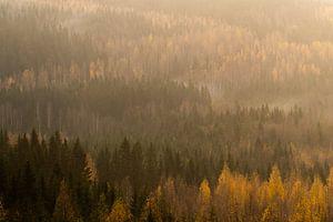 Uitziucht over dennenbos in de ochtend. van Axel Weidner