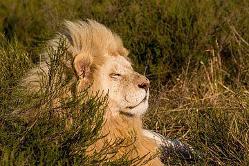 Witte leeuw in het zonnetje van John Stijnman