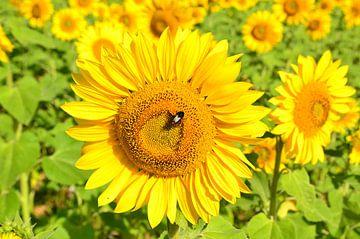 Zonnebloemen in de Dordogne van