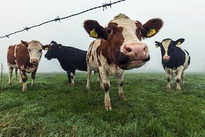 Nieuwsgierige koeien op een mistige ochtend
