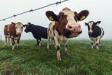 Nieuwsgierige koeien op een mistige ochtend van