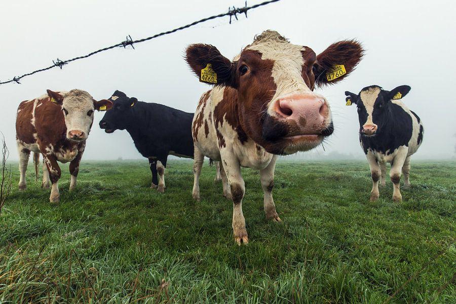 Nieuwsgierige koeien op een mistige ochtend van Edwin Mooijaart