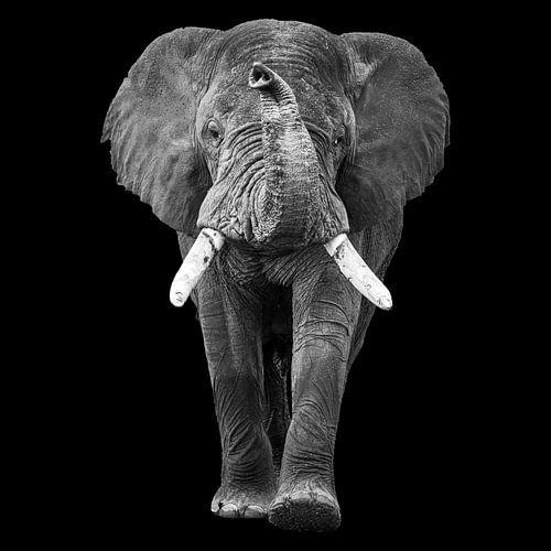 Lopende olifant met slurf omhoog