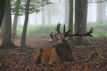 in autumn... Red Deer *Cervus elaphus* van wunderbare Erde